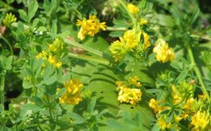 Люцерна жовта серповидна як медонос