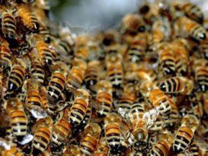 Чому восени злітають бджоли