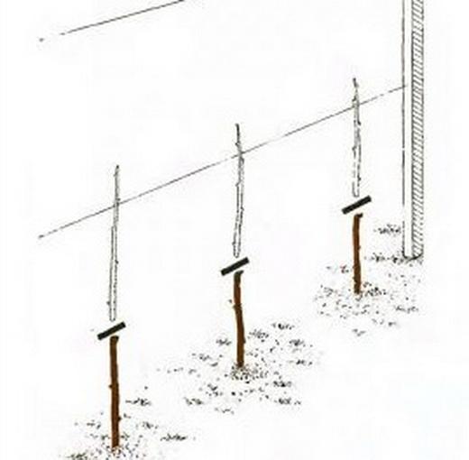 Обрубка стовбурів малини схема