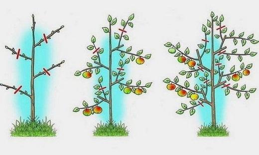 Обрізка колоновидної яблуні фото