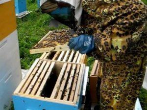 Як пересадити бджіл правильно