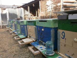 Як пересадити бджіл з бджолопакета
