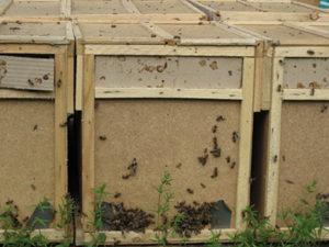 Пересадка бджіл з бджолопакетів