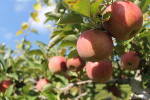 Як правильно садити яблуню