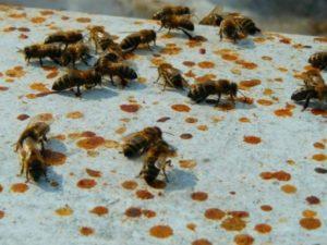 Понос у бджіл