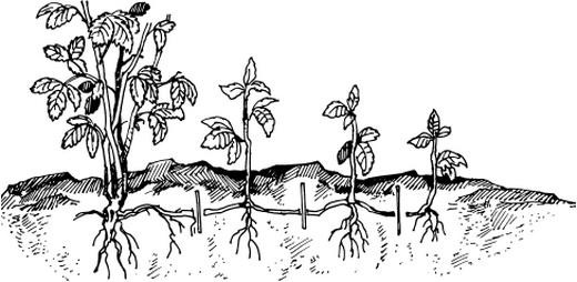 Розмноження малини діленням куща схема