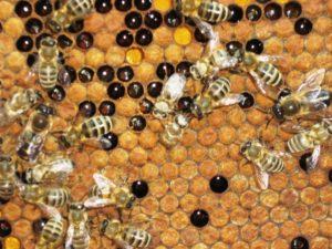 Що робити, якщо нема розпліда бджіл