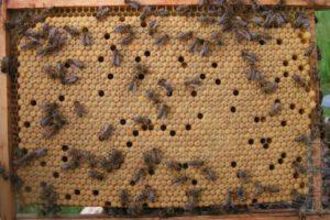 Що робити, якщо відсутній розплід бджіл