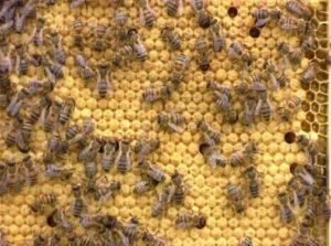 Закритий розплід бджіл