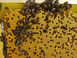 Чому нема розплода бджіл