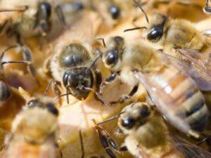 Як розвивається бджоломатка