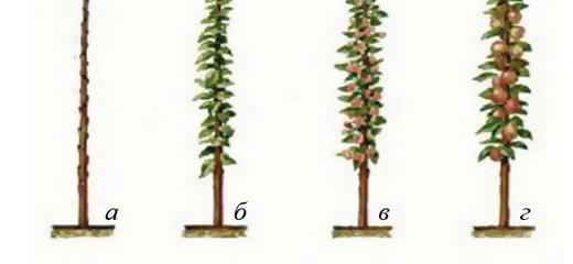 Схема обрізки колоновидної яблуні фото