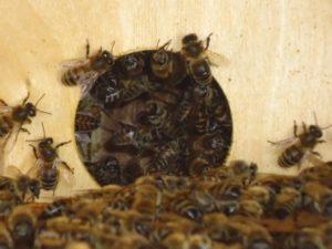 Робочі бджоли