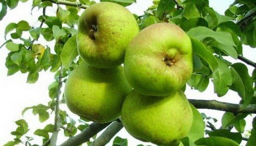 Сорт груші Бессемянка - фото