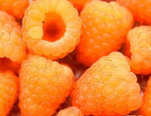 Сорт малини золотий гігант фото
