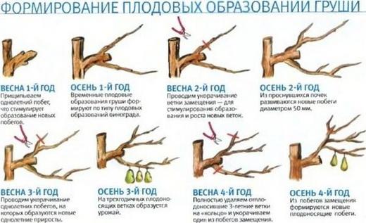 Технологія обрізки груші восени і навесні
