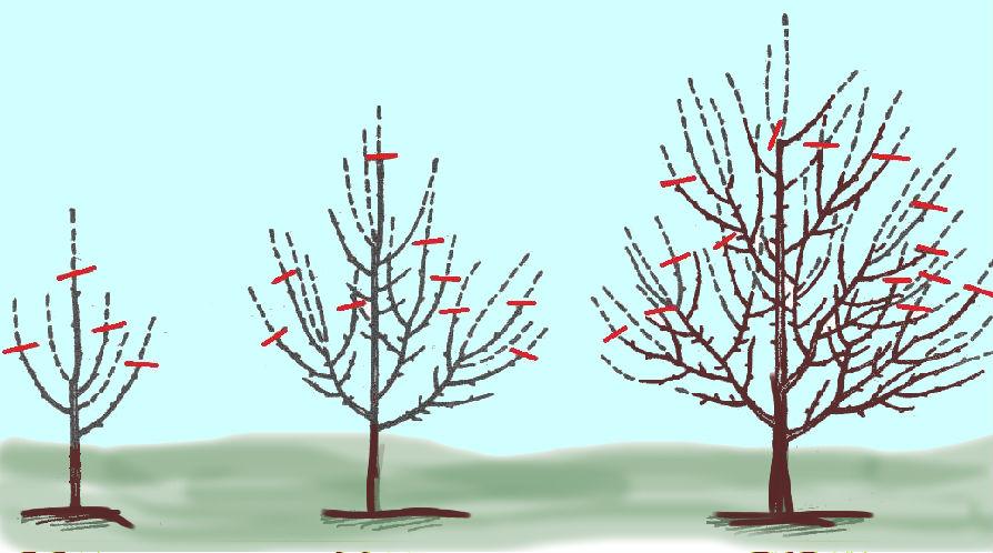 Весняна обрізка груші схема