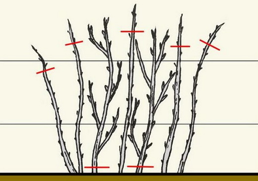 Весняна обрізка малини схема