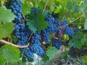 Найкращі винні сорти винограду