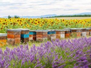 бджільництво Канади