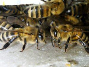 Бджолині какашки