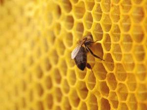 будівництво стільників бджолами