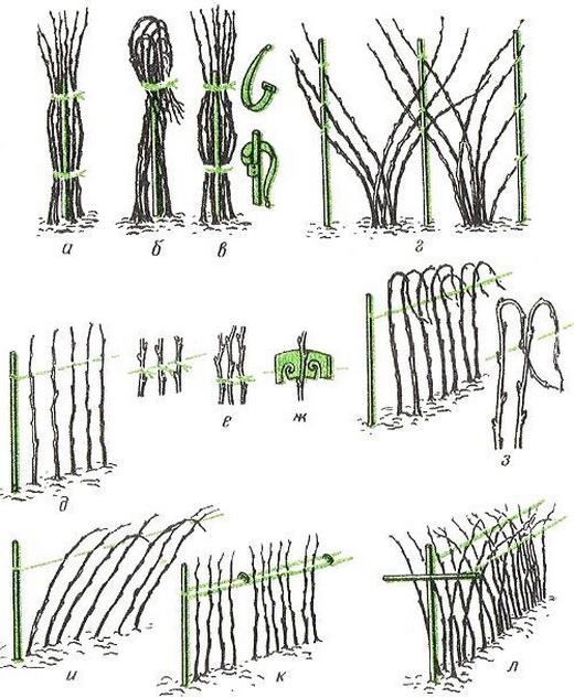 Фото: Схеми і варіанти підв'язки малини