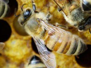 Як почати розведення бджіл