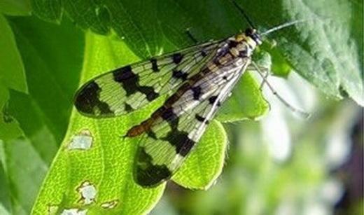 Стеблеві мухи фото