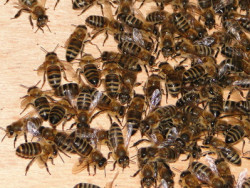 Чим небезпечне злодійство бджіл