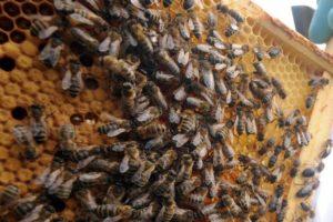 Боротьба зі злодійством бджіл