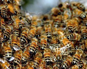 Злодійство бджіл: методи боротьби