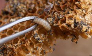личинка воскової молі