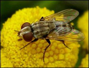 Сенотаініоз муха шкідник