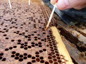 Європейський гнилець бджіл