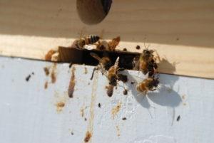 Сальмонельоз бджіл лікування