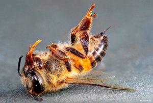 Сальмонельоз бджіл хвороба