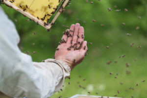 Навігація бджіл: як вони знаходять дорогу додому