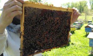 породи бджіл