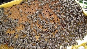 Посилення бджолиної сім'ї навесні
