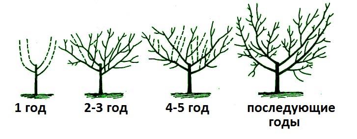 Схема обрізки вишні по роках