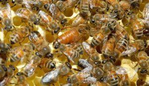 Які бджоломатки найкращі?
