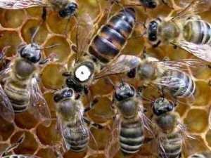 бджоломатка яка краще