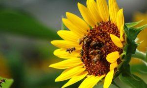 Чи можна годувати бджіл соняшниковим медом в період зимівлі