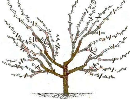 Як правильно обрізати деревоподібну вишню?