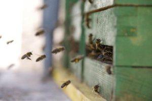 перший весняний обліт бджіл