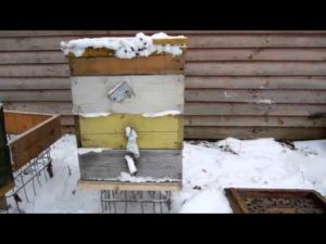 Зимівля бджіл у вуликах без дна