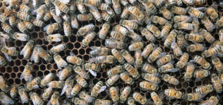 Відновлення активності бджіл до кінця зимівлі