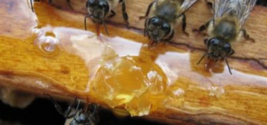 Годування бджіл старим медом