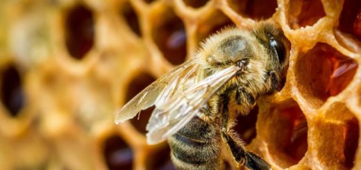 Яку породу бджіл вибрати?Яку породу бджіл вибрати?